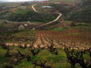 Vinarija Budimir - Vineyards