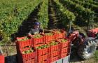 Harvest time at Kozlović